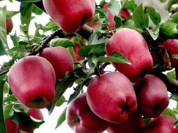 яблоки Ред Чиф