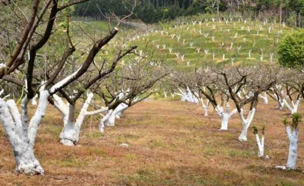 Стелющаяся яблоня побелка