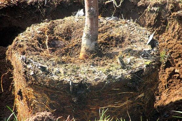 Выпревание корневой шейки груши
