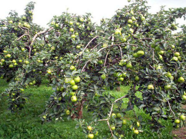 Яблоня Братчуд дерево