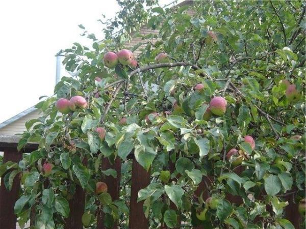 Яблоня Боровинка дерево