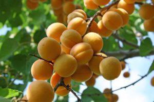 Описание абрикоса сорта Погремок, правила посадки и ухода