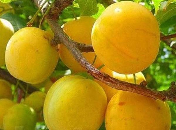 плоды гека