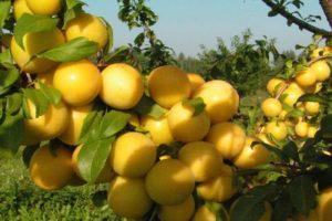 Описание и тонкости выращивания алычи сорта Сонейка