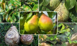 Меры борьбы с медяницей на груше, лечение препаратами и народными средствами