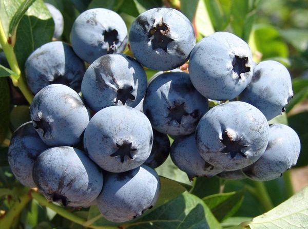 плоды Чандлер