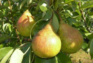 Описание груши сорта Белорусская Поздняя, опылители и тонкости выращивания
