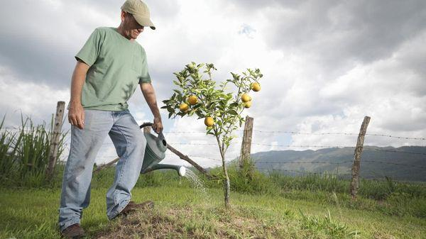 Полив грушевого дерева