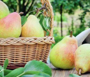 17 лучших сортов груш для Урала с описанием и тонкости выращивания