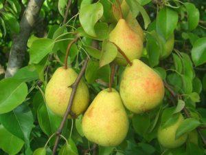 Описание и опылители груши сорта Велеса, правила выращивания