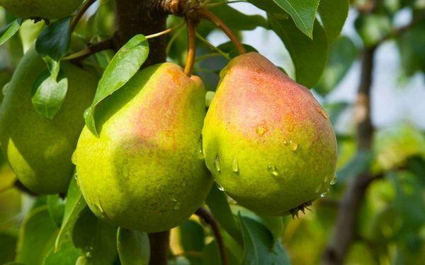 плоды на груше