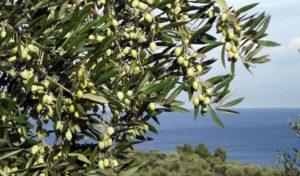 Сроки и способы сбора оливок, условия хранения урожая