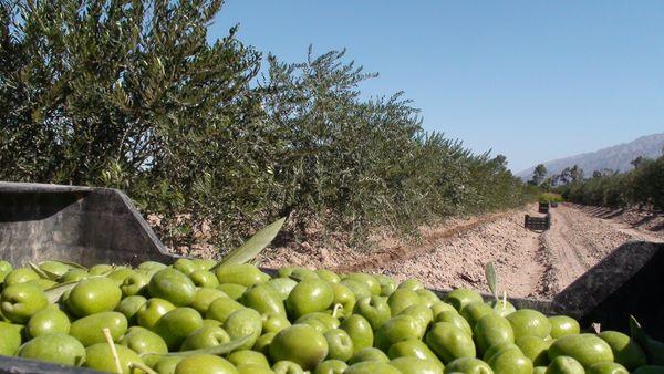 сбор маслин