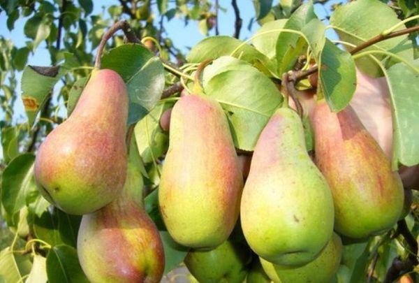 груши Перун