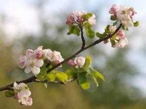 Как можно из ветки вырастить яблоню и как правильно ухаживать за растением