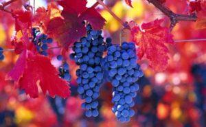 Описание винограда сорта Карменер, правила посадки и ухода