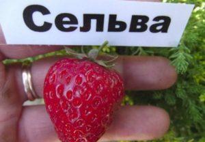 Описание ремонтантного сорта клубники Сельва и технология выращивания