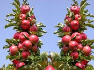 Описание колоновидной яблони сорта Арбат и тонкости выращивания