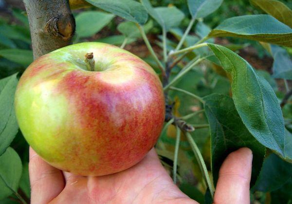 плоды арбата