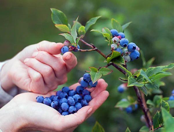 Монилиоз плодов