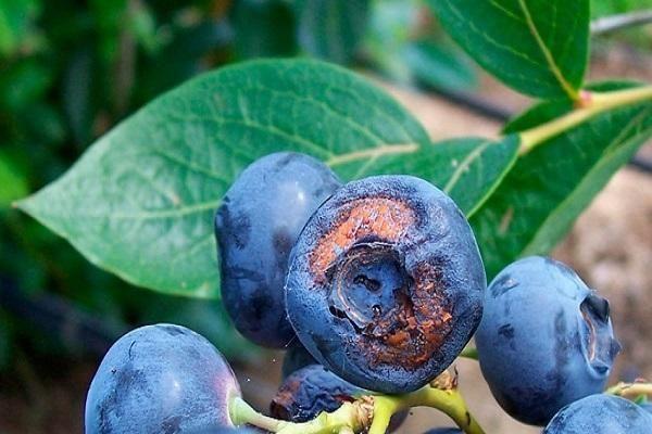 пораженные плоды