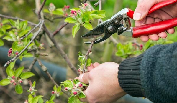 Обрезка Стелющаяся яблоня