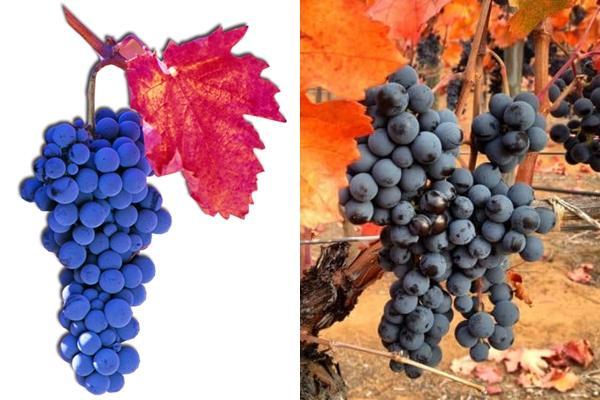 плоды винограда карменер