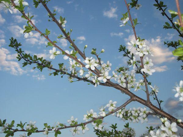 цветение сливы