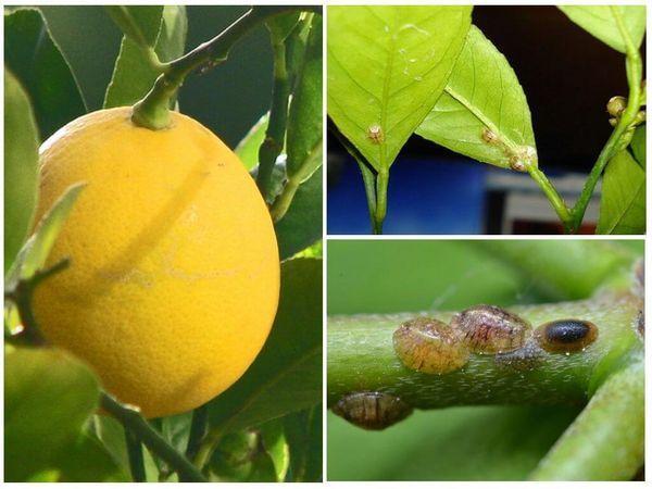 щитовка лимон