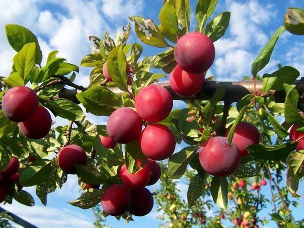 плодоношение сливы