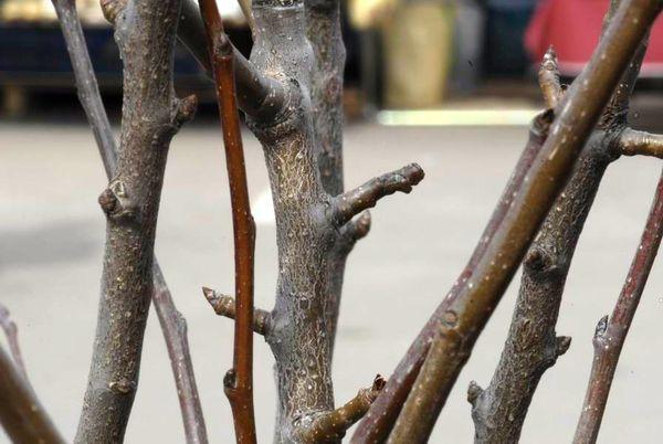 ветки груши