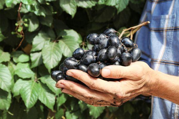 виноград на ладони
