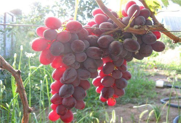 применение ягод