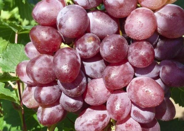 плоды Виктории