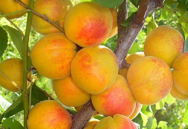 абрикос Серафим