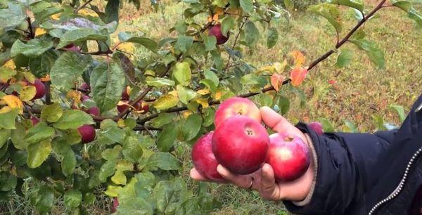 плоды алеси