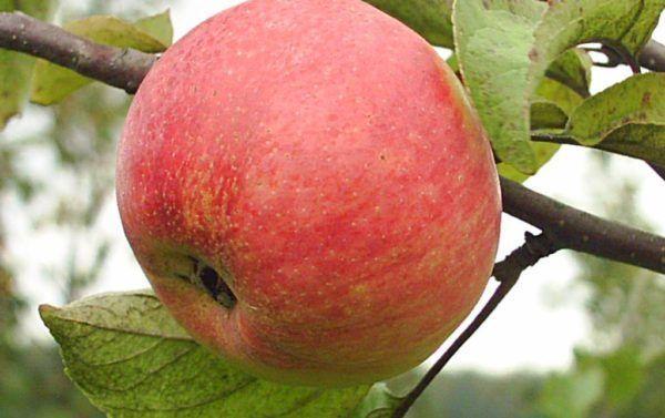 одно яблоко