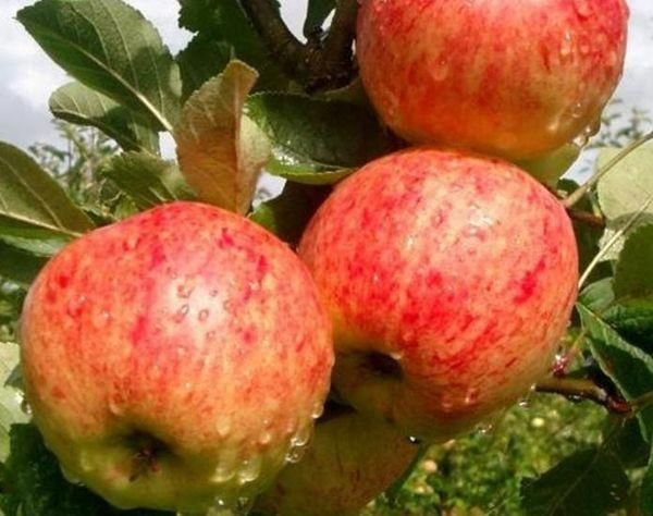 яблоки под дождем