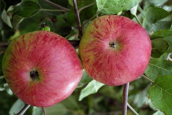 плоды яблони