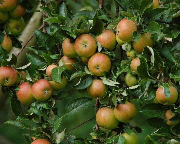 плодовое деревце