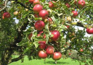Описание и технология выращивания яблони сорта Горнист
