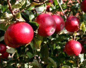Описание сорта яблони Красное Раннее, агротехника и специфика ухода