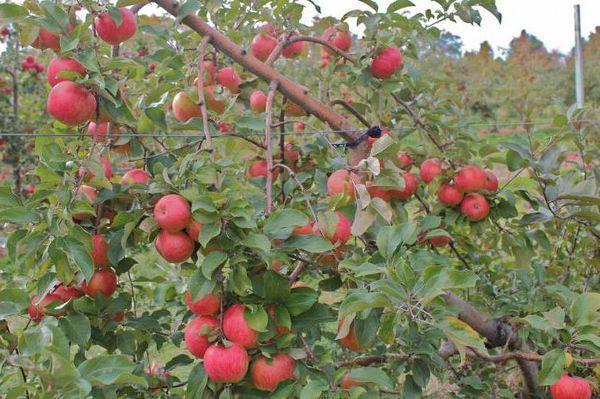 ветки с яблоками