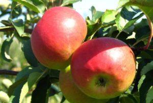 Описание и характеристики яблони сорта Квинти, посадка и уход
