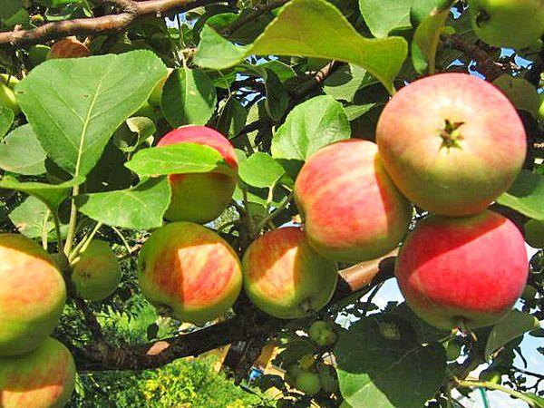 Плодоношение дерева