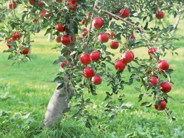 дерево в саду