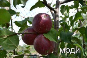 Описание яблони сорта Моди, особенности посадки и ухода