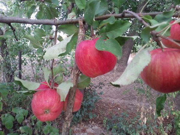 яблоня в огороде