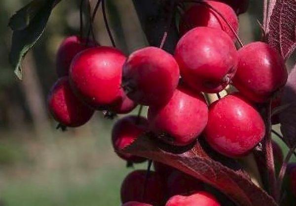 Декоративные яблоки