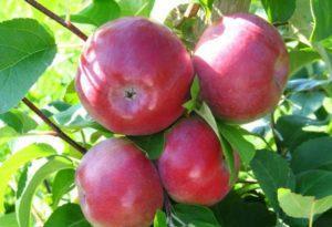 Описание яблони сорта Подарок садоводам и тонкости выращивания